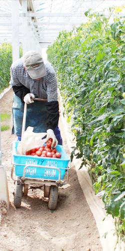 トマト栽培を始めて40年以上